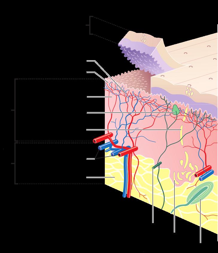 Fonctionnement de la peau : derme, épiderme, hypoderme